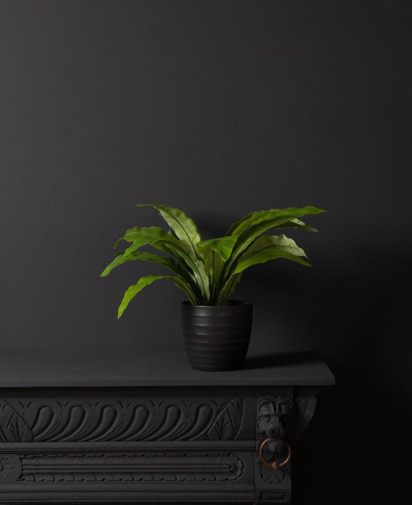 birds nest fern in a black vase against a black background