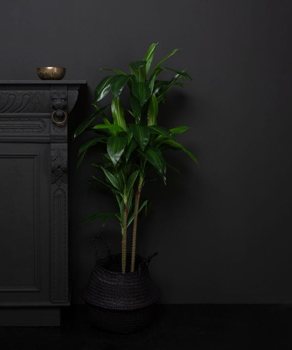 artificial dracena plant