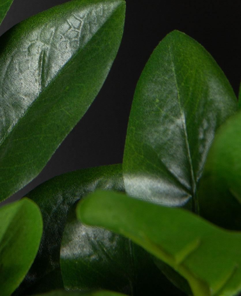 Zamifolia closeup against black background