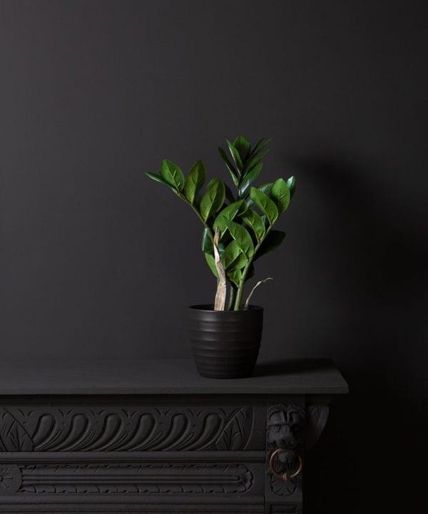zamioculcas plant in a black pot against a black wall