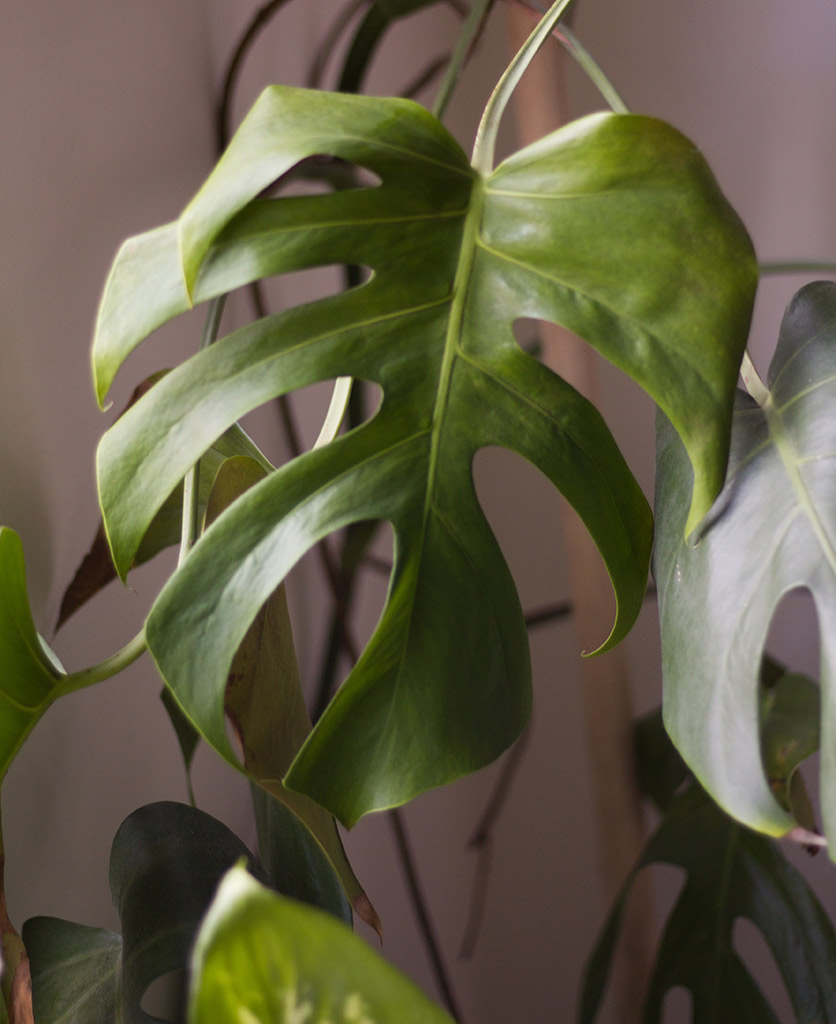 closeup of monstera plant against soft pink wall