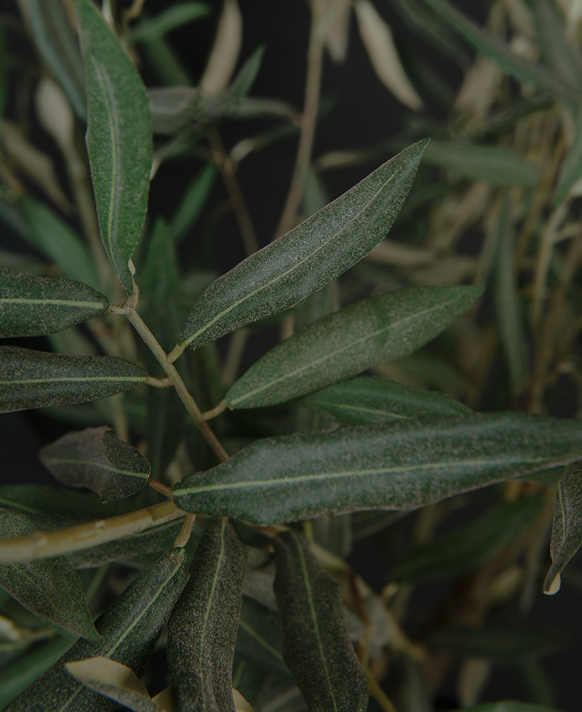 closeup olive tree