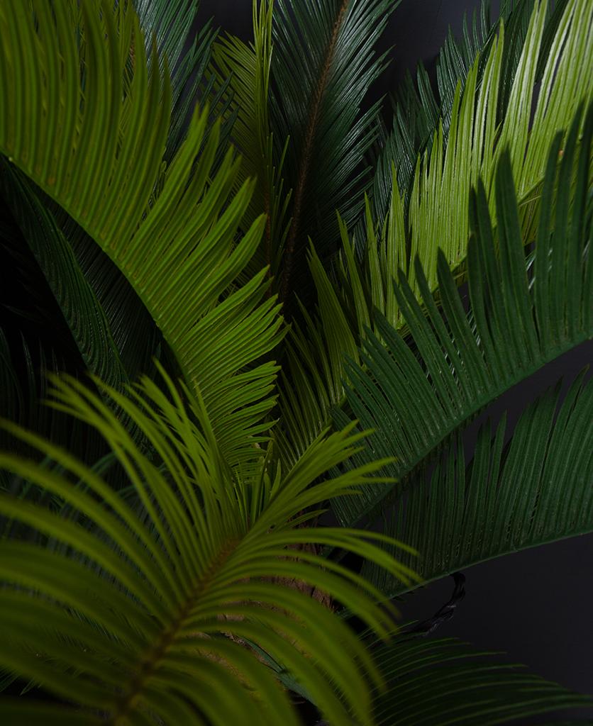 closeup of sago palm against black background