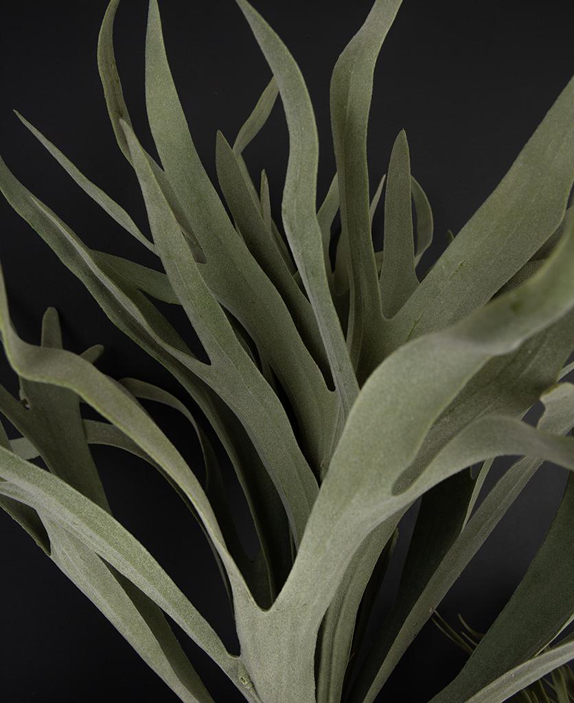 stag horn fern closeup against black background