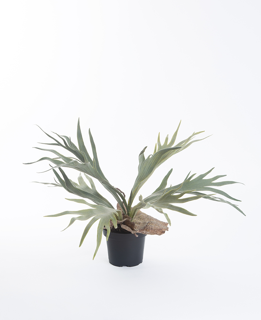 small elkhorn fern