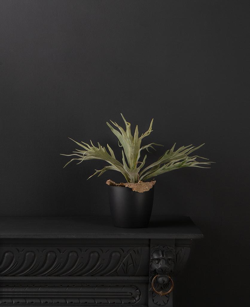 small staghorn fern
