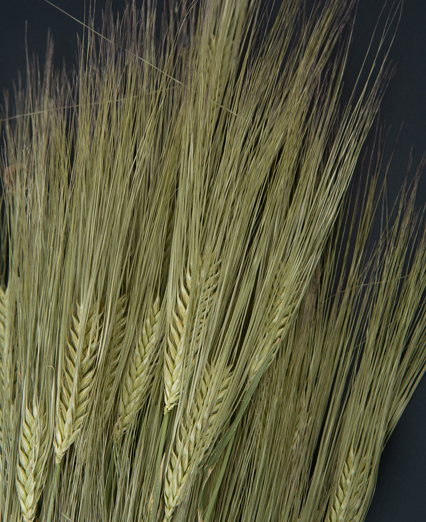 close up image of dried barley stems against black background