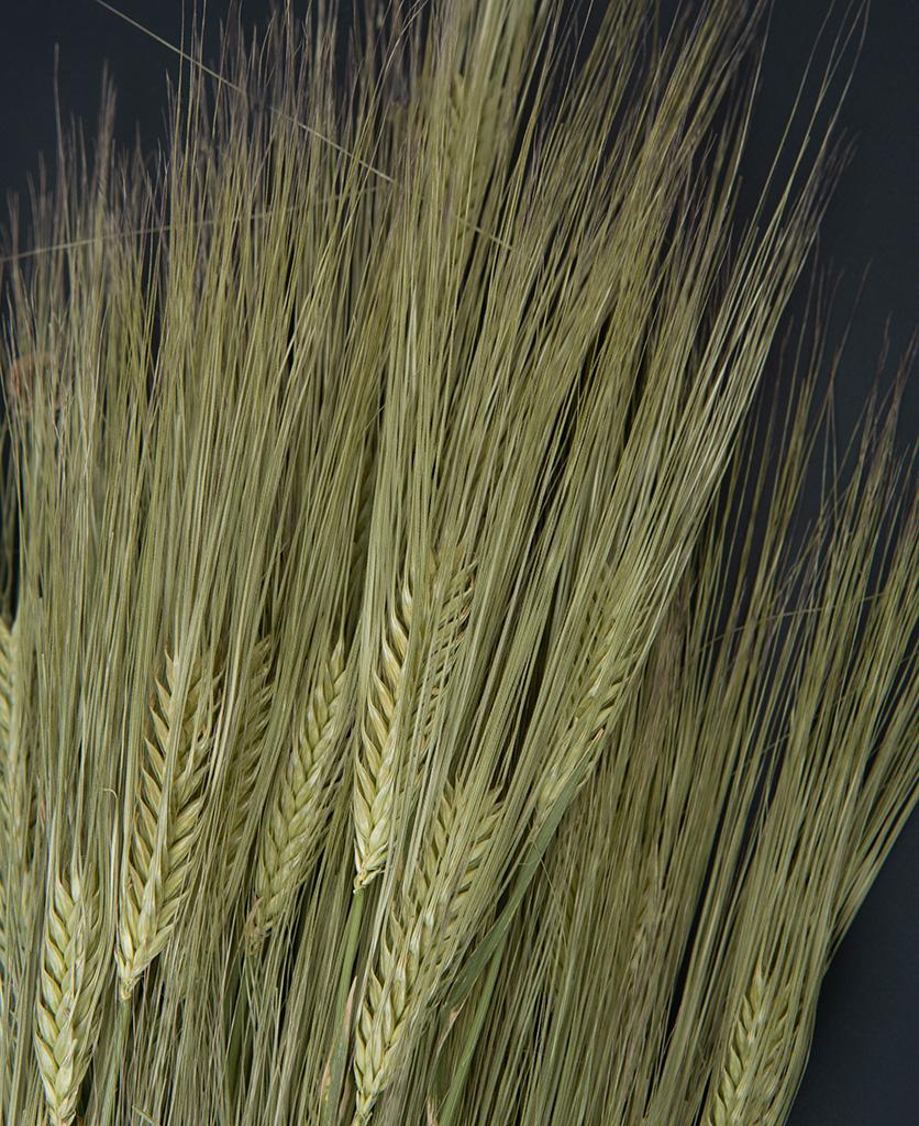 close up image of dried barley stems