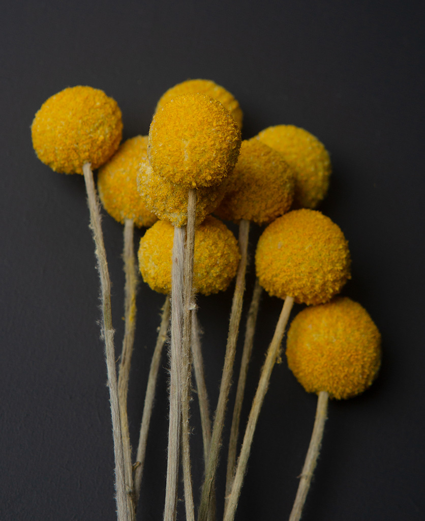 close up image of a bouquet of yellow craspedia against black background