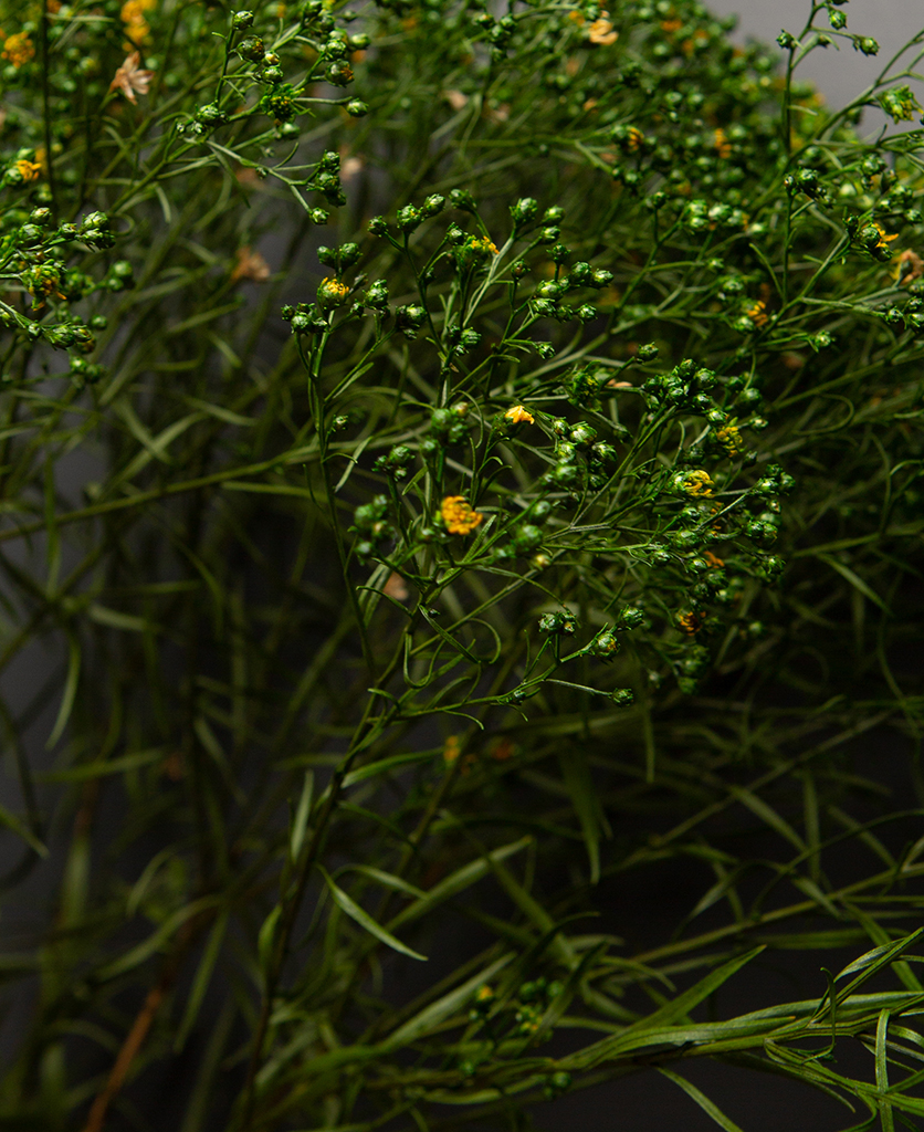 closeup of preserved broom flower against black background