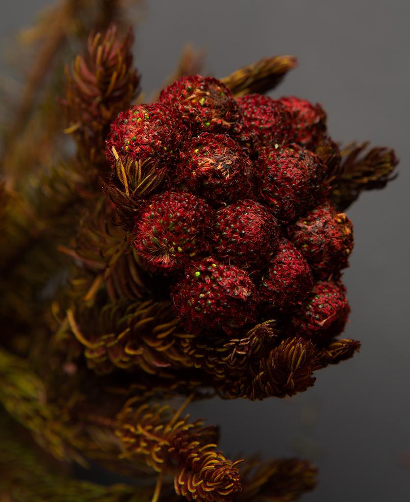 closeup of preserved brunia flower against black background