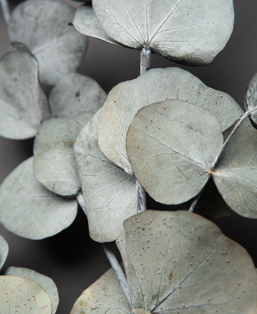 closeup of preserved eucalyptus cinerea against black background