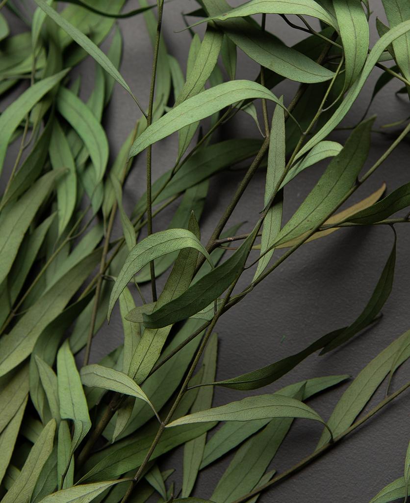 closeup of preserved eucalyptus nicholii against black background