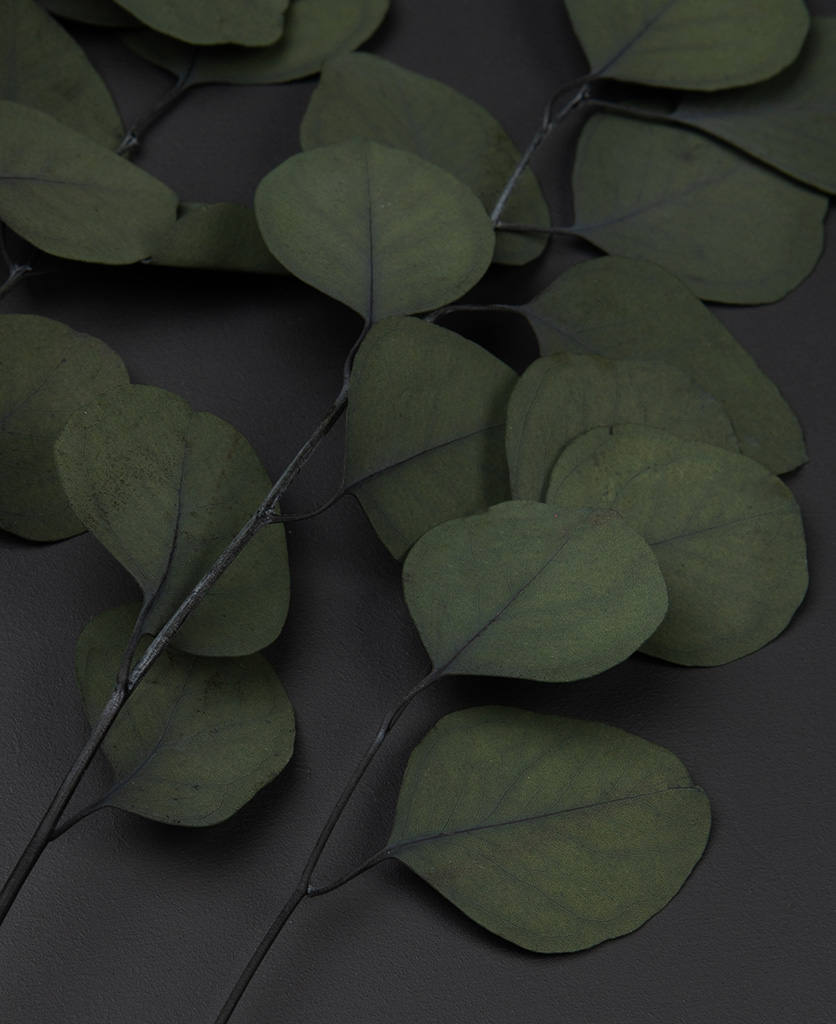 close up of preserved eucalyptus populus on black background