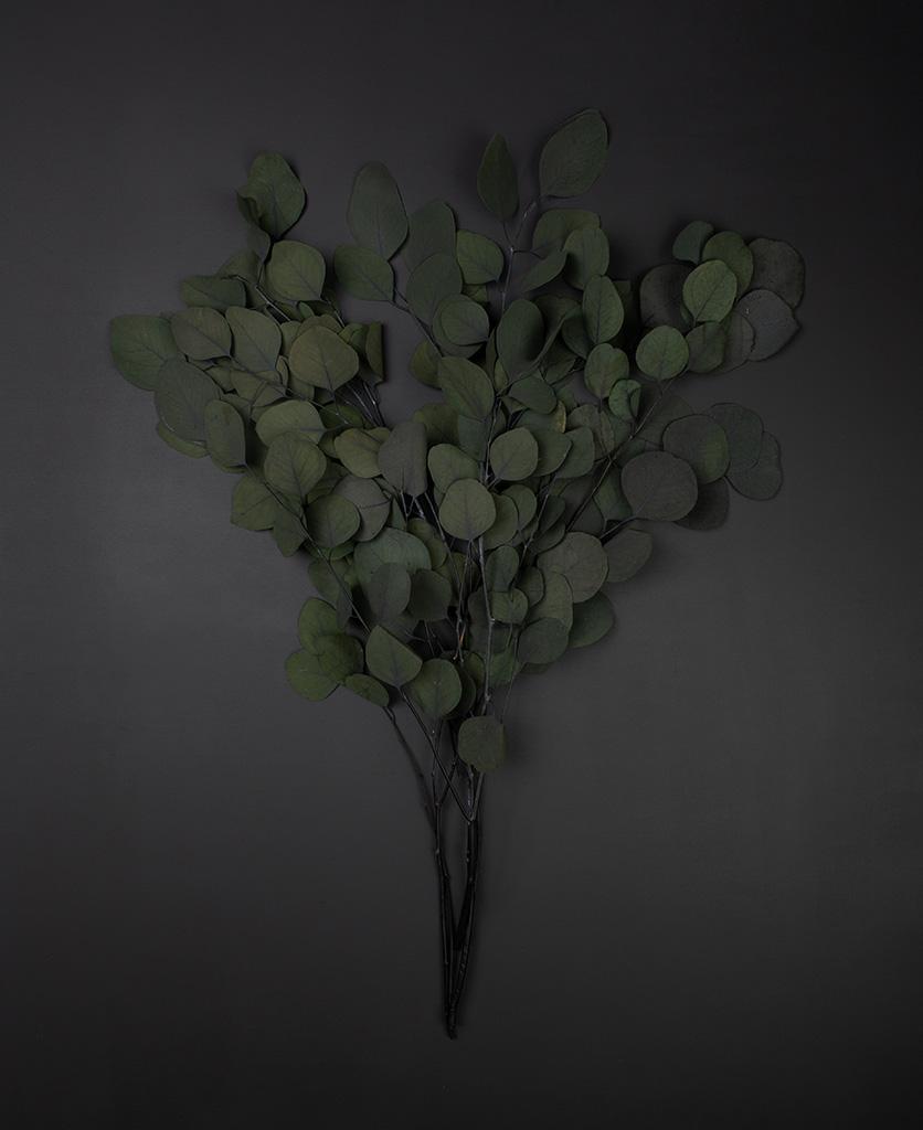 preserved eucalyptus populus bunch against black background