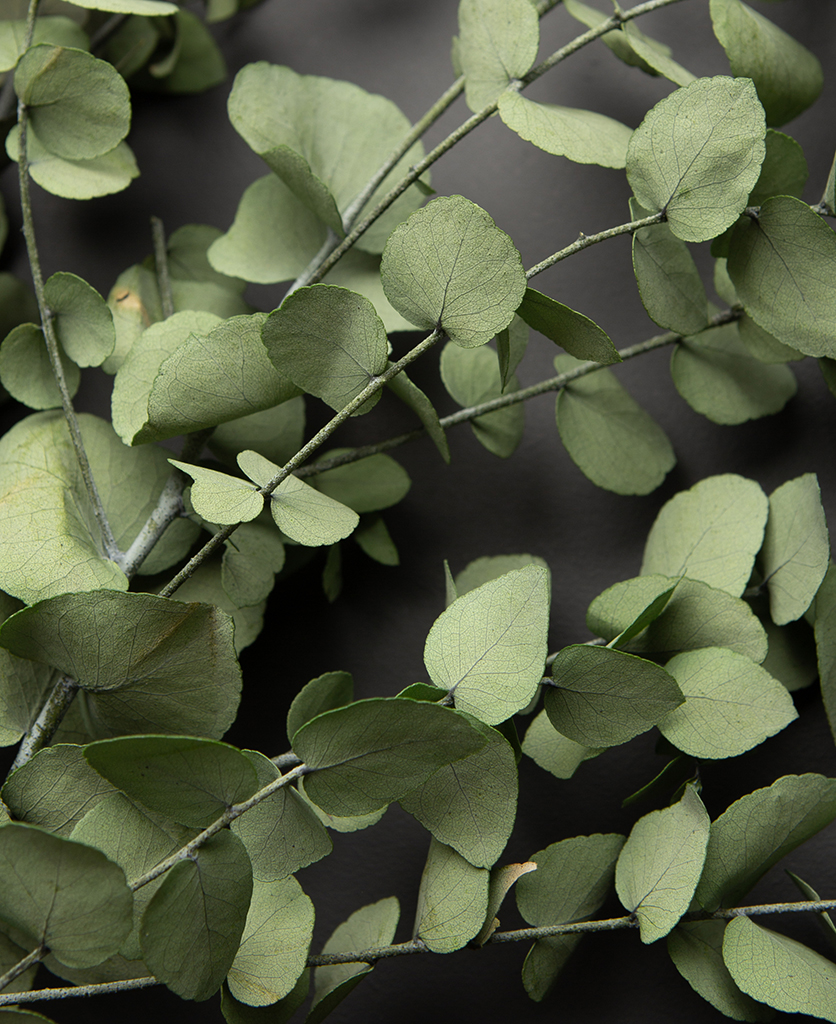 closeup of preserved eucalyptus branches against black background