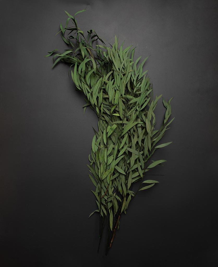 preserved green nicholii eucalyptus against black background