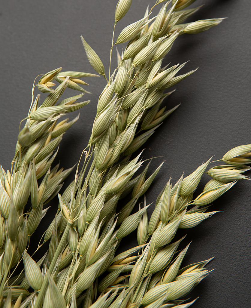 dried oat straw stems against black background