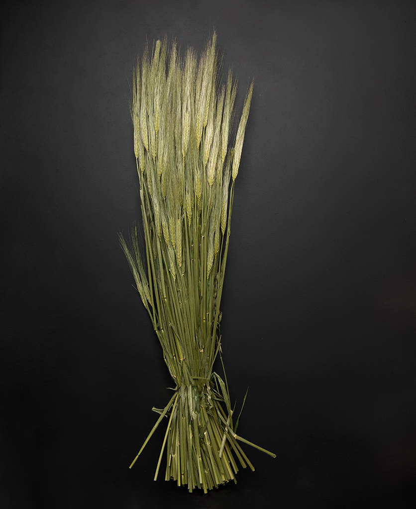 bunch of dried barley against black background