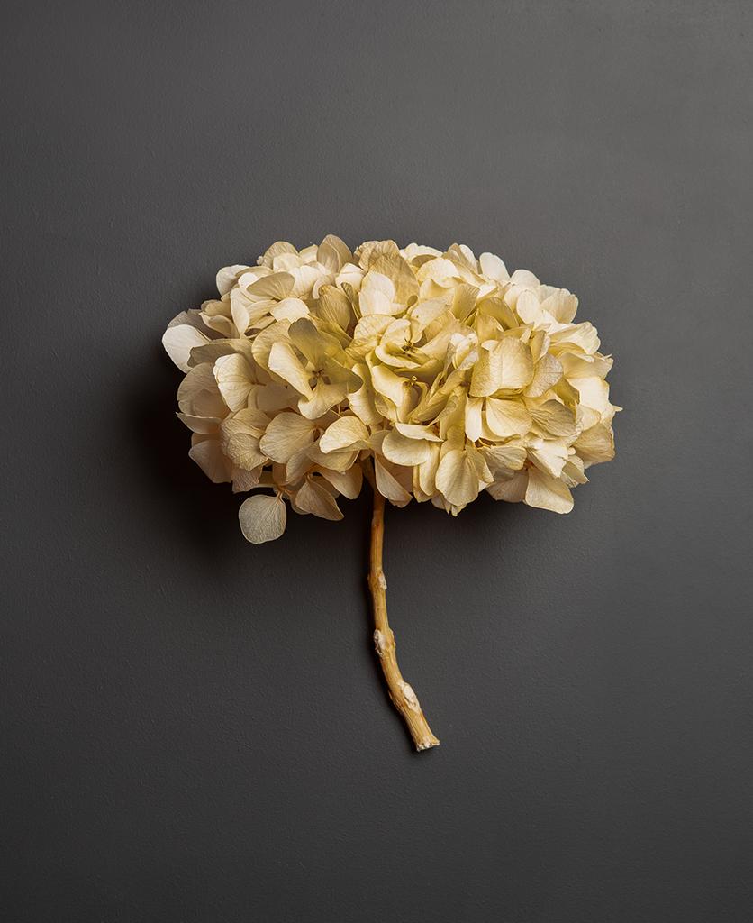 preserved ivory hydrangea stem against black background