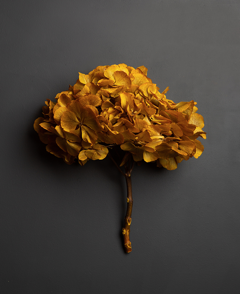preserved yellow hydrangea stem against black background