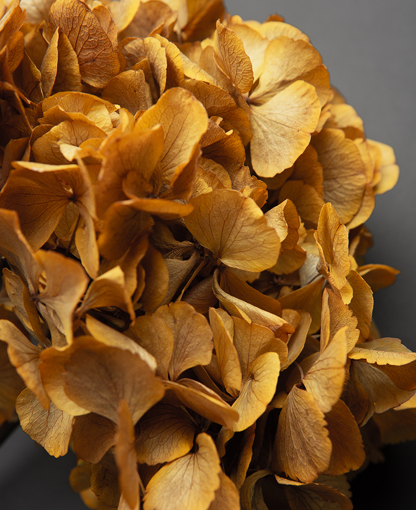 closeup of preserved yellow hydrangea stem against black background