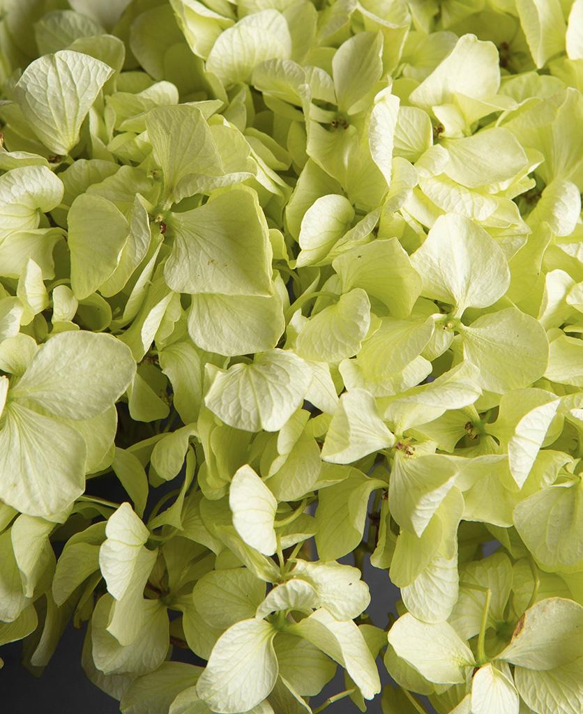 pistachio green hydrangea closeup