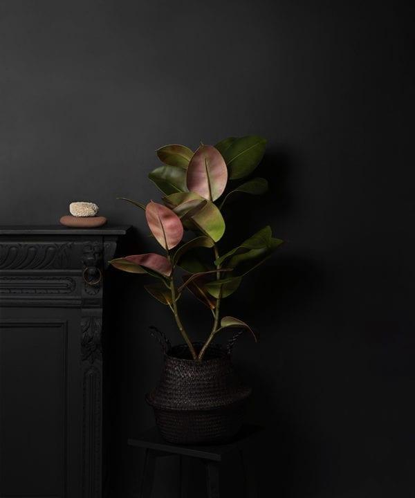 ficus elastica plant in black basket on dark background