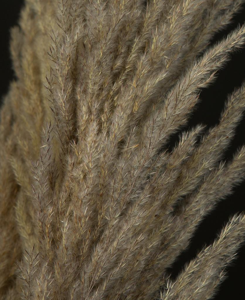 pampas grass close up foliage stems on black background