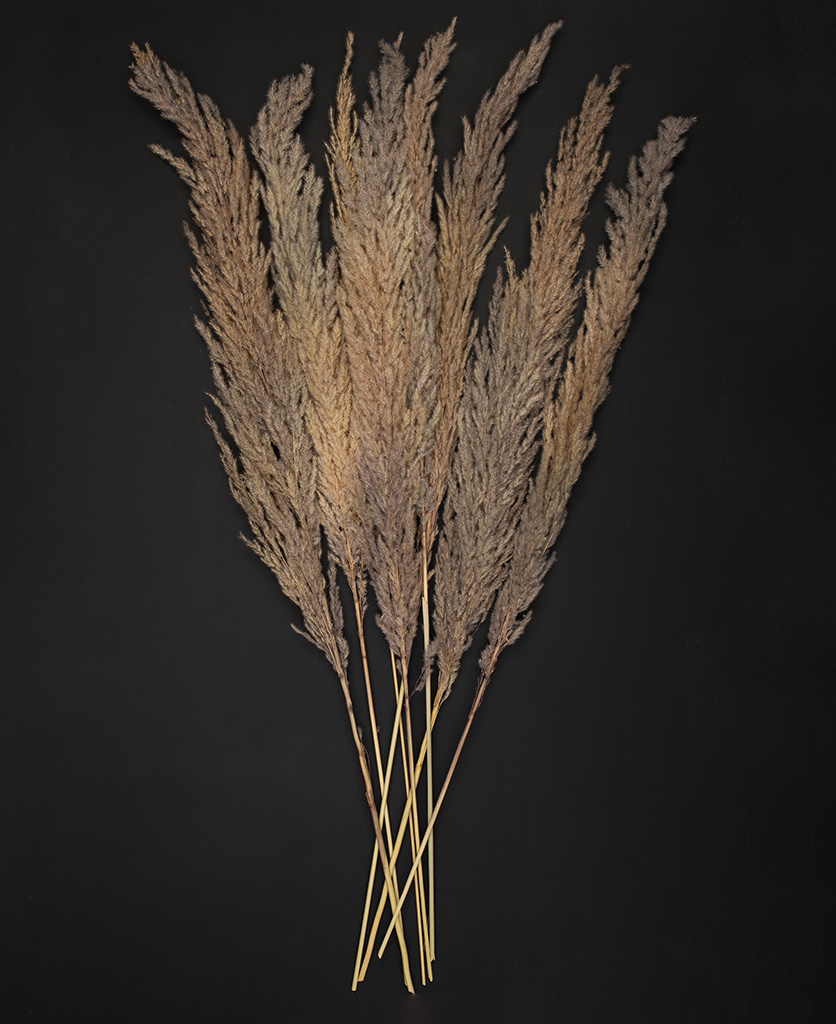 pampas grass flay lay stems on black background